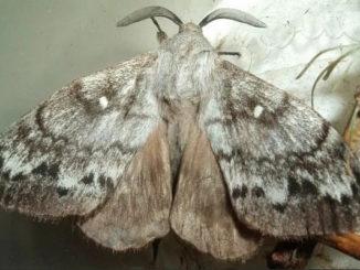 бабочка сибирского шелкопряда